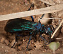 Spider Wasp? - Pepsis mexicana - female