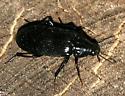 ground beetle? - Melandrya striata