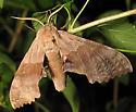 Big Poplar sphinx moth? - Pachysphinx modesta