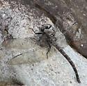 dragon - Tachopteryx thoreyi
