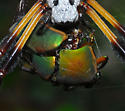 Nephila food - Nephila clavipes