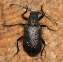 big black beetle - Neanthophylax tenebrosus - female
