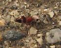 ID for Velvet Ant with white head? - Ephuta argenticeps - female