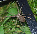 unknown spider - Pisaurina mira