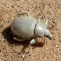 Smaller fuzzy Weevil - Trigonoscuta