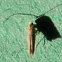 Micro Moth? - Tischeria