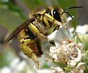 Anthidium illustre - male