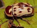 Leaf Beetle? - Cryptocephalus mutabilis