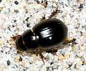 Scarab Beetle - Aegialia blanchardi