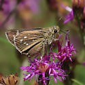 Well-marked Skipper on Vernonia - Dotted Skipper? - Hesperia attalus