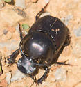 Horned Black Beetle - Onthophagus taurus