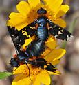 Exoprosopa rhea - male - female