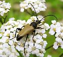 Help with a beetle - Trigonarthris proxima