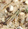 grasshopper, green,white & black striped face - Opeia obscura - female
