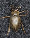 Hydrophiloidea ? - Berosus