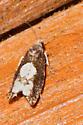 Moth 07-Fenstad's Resort - Epinotia trigonella