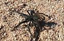 Male tarantula - male