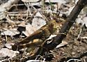 Plains yellow-wing - Arphia simplex - male