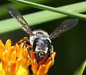 largish Megachilidae? - Megachile pugnata