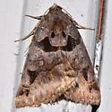 8731 – Euclidia cuspidea – Toothed Somberwing Moth 2725 2016 05 29 T  - Euclidia cuspidea
