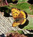 Lycaena hyllus - Bronze Copper - Hodges#4256 - Lycaena hyllus