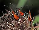Coreidae? - Leptoglossus