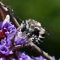 Large bee in Santa Cruz, California - Anthophora urbana - female