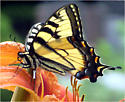 Eastern or Canadian Tiger Swallowtail? - Papilio glaucus
