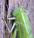 Conocephalinae -? - Neoconocephalus robustus - male