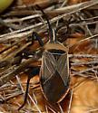 long-headed bugs on cactus - Chelinidea vittiger