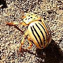 Kerria Chrysomelid on the ground - Leptinotarsa texana