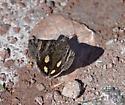 What moth is this? - Litocala sexsignata
