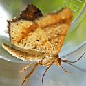 Bicolored Angle Moth - Macaria bicolorata