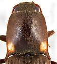Vesperelater arizonicus (Hyslop) - Vesperelater arizonicus - male
