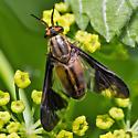 deer fly - Chrysops moechus