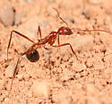 Spindly ant - Novomessor cockerelli - female