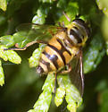 Batman Hover Fly - Myathropa florea - female