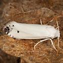Moth - Tegeticula maculata