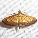 Lantana Leaftier Moth - Hodge's #5287 - Salbia haemorrhoidalis