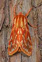 Moth Species - Lophocampa roseata