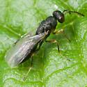 Ichneumonidae ? - Tetramesa - female