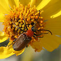 Brown, Red and Black Beetle - Nemognatha cantharidis
