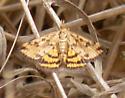 Moth? - Pyrausta subsequalis