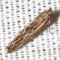 Twirler Moth - Hodges #2039 - Symmetrischema striatella