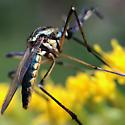 Elephant Mosquito - Toxorhynchites rutilus - female