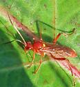 Unidentified Ichneumon - female