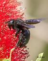 Carpenter bee - Xylocopa