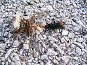Spider wasp with prey - Entypus unifasciatus