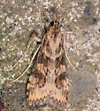 dorsal view phycitine moth probable - Nomophila nearctica