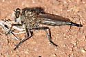 robberfly with plume moth - Efferia